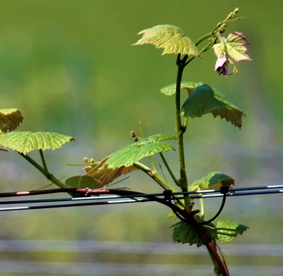 Image of Vineyard Expansion Assistance Program Provides Grant Money to 14 Ohio Grape Growers