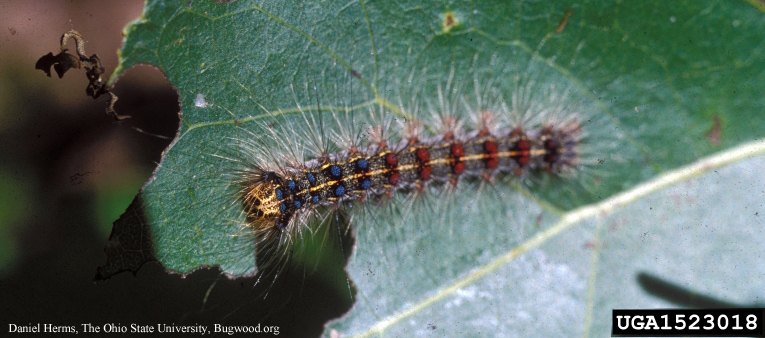 Image of 01.28.19 State Offers Gypsy Moth Open Houses in Central and Eastern Ohio