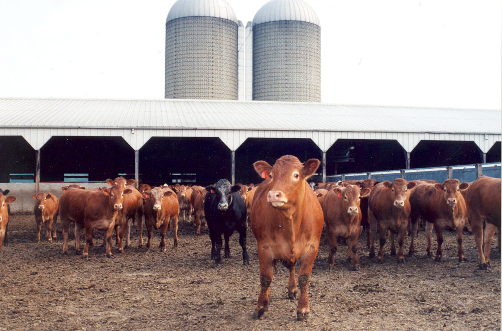 A photo of a cattle feed lot