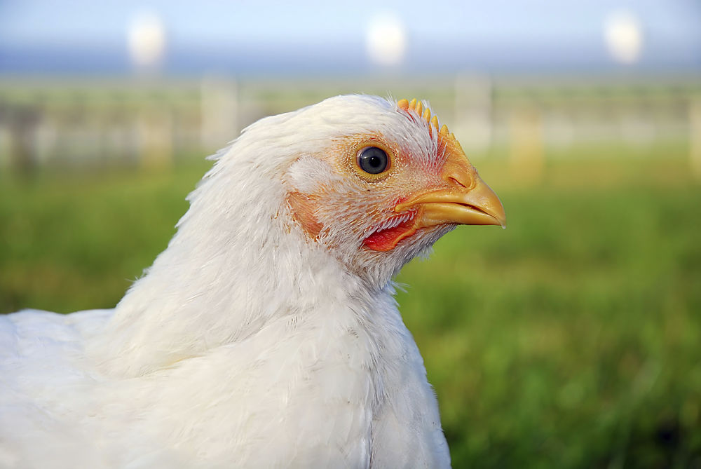 A photo of a chicken